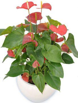צמח אנטוריון אדום בתוך כלי מקרמיקה - שדה פרחים משלוחי פרחים