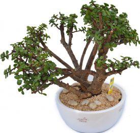 עץ השפע