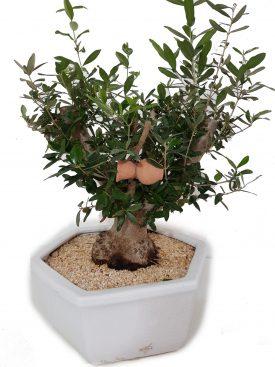 עץ זית גדול
