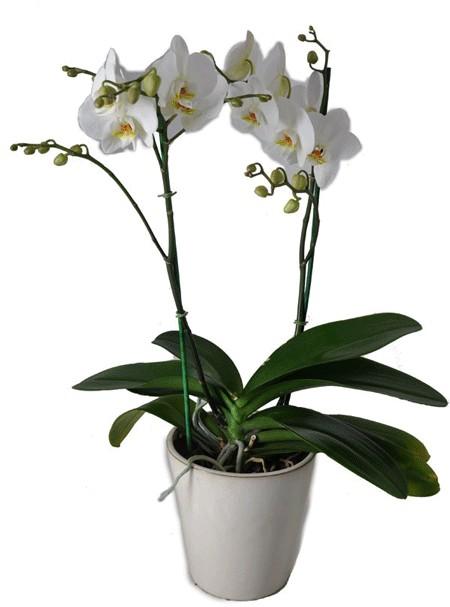סחלב פלנופסיס שני ענפים - שדה פרחים