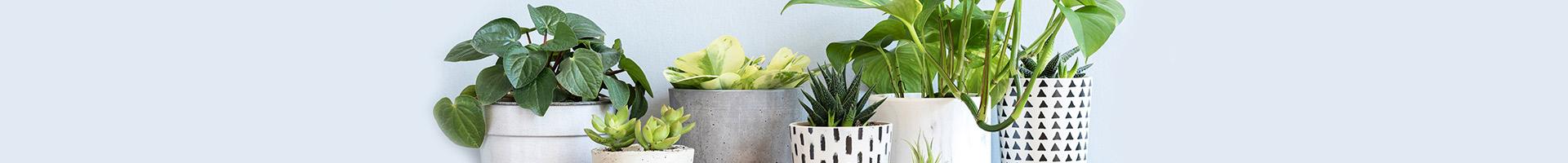 צמחי אוויר - שדה פרחים משלוחי פרחים